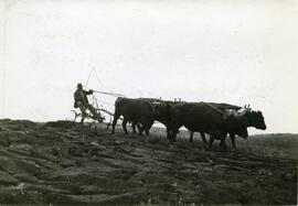 Breaking land with Oxen