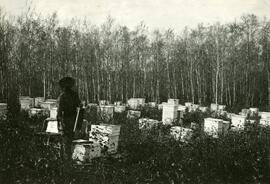 Bee Hives on honey farm near Carlyle, Saskatchewan