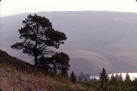 A tree on a valley slope in the Cypress Hills