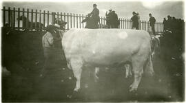 College of Agriculture - Cattle - Exhibitions
