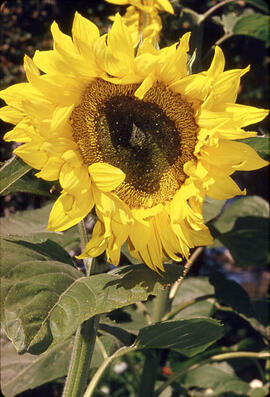Sunflower bloom (helianthus petiolaris)
