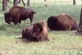 Several Bison in Prince Albert National Park