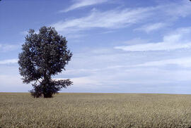 A lone tree in a field