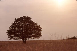 A lone tree in the Cypress Hills